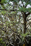 Acacia horrida - Thorn Tree. A low spreading shrub or sometimes tree native to both the wet and dry scrublands of tropical to subtropical East Africa. An stock photography
