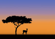 Acacia and impala silhouette. Acacia and impala in silhouette during sunrise in africa Royalty Free Stock Images