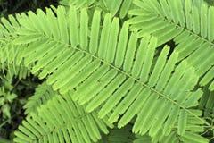Acacia Insuavis Foto de archivo libre de regalías