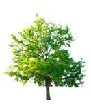 Acacia isolated Stock Image
