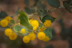Acacia jaune de wildflower indigène d'Australie occidentale macro Images libres de droits