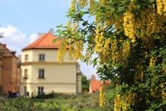 Acacia jaune fleurissant au centre de Varsovie image stock