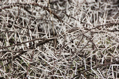 Free Acacia Karoo Thorns Stock Photos - 36202383
