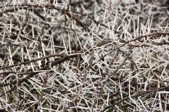 Acacia karoo thorns Stock Photos
