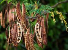 Acacia Koa Seeds Stock Image
