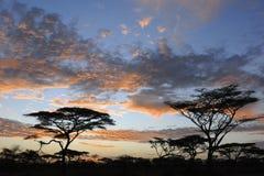 Acacia in landscape stock photo