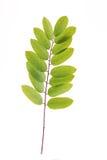 Acacia leaf Royalty Free Stock Photos