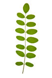 Acacia leaf Stock Images