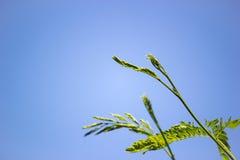 Acacia leaf Stock Photos