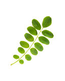 Acacia Leaf. A green Acacia leaf on white background royalty free stock image