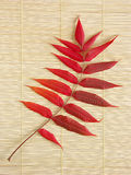 Acacia Leaf In Autumn Colors Stock Photography