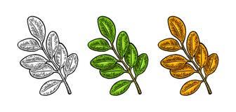 Acacia leaf. Spring green and autumn orange. Vector engraved Royalty Free Stock Photos