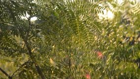 Acacia leaf watering a tree on farm in evening. Acacia leaf watering a tree on farm in the evening stock video footage