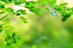 Acacia leaves Stock Photos