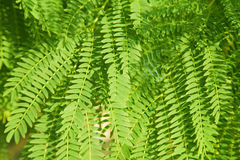 Acacia leaves background Royalty Free Stock Images