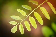 Acacia leaves at backlight Stock Photos