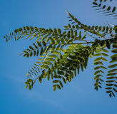 Acacia leaves on the blue sky background in summer sunshine Royalty Free Stock Image