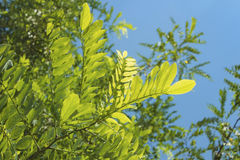 Acacia leaves in bright sunlight Stock Photo