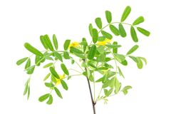 Acacia leaves with flower Royalty Free Stock Photo