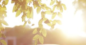 Acacia leaves in front of sunshine stock video