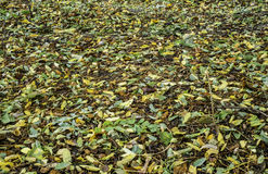 Acacia leaves on the ground. Royalty Free Stock Photo