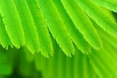 Acacia leaves Royalty Free Stock Photos