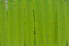 Acacia leaves Stock Photography
