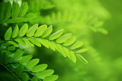 Acacia leaves in summer sunshine Royalty Free Stock Photos