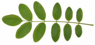 Acacia leaves on a white background. Beautiful green leaves of acacia isolated on a white background Stock Photos