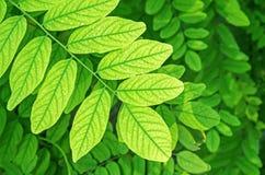 Acacia leaves Royalty Free Stock Photo