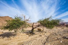 Acacia, lightning split into two parts. The stone desert in neighborhood of the sea resort of Eilat stock images