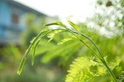 Acacia limb Stock Photo
