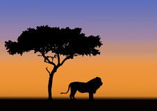 Acacia and lion silhouette. Acacia and male lion in silhouette during sunrise in africa Stock Photo