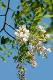 Acacia locust Royalty Free Stock Photography