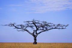 Acacia. A lone acacia tree in the savannah Royalty Free Stock Photography
