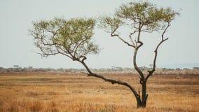 Acacia Royalty Free Stock Image
