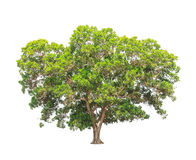Acacia mangium, tropical tree in Thailand Stock Photography