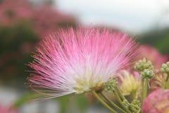 Acacia mimosa Stock Image