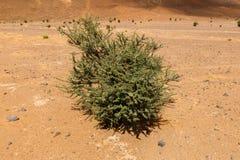 Acacia nel deserto del Sahara Immagini Stock Libere da Diritti