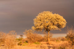 Acacia nigrescens knobthorn tree landscape Stock Image
