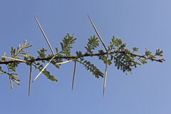 Acacia Nilotica. Thorns of Acacia Nilotica, Babul tree, India Royalty Free Stock Photo