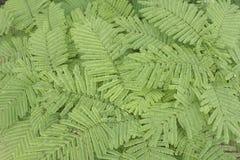 Acacia pennata. Or Acacia insuavis Lace background Stock Photography