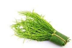 Acacia Pennata (L.) Willd. Stock Image