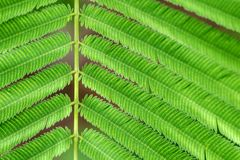 Acacia Pennata ou feuilles s'élevantes d'acacia Photos libres de droits
