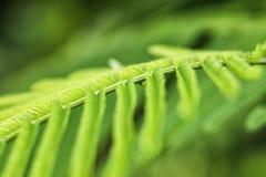 Acacia Pennata ou feuilles s'élevantes de vert d'acacia Photo libre de droits