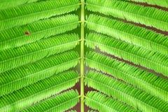 Acacia Pennata ou feuilles s'élevantes de vert d'acacia Photos stock