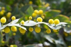Acacia piana di Glaucoptera dell'acacia Fotografia Stock