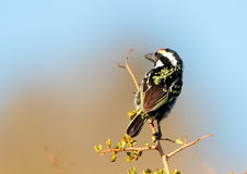 Acacia Pied Barbet Stock Photography