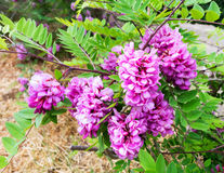 Acacia pink with pale lilac flowers . Stock Images