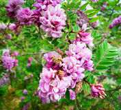 Acacia pink with pale lilac flowers . Royalty Free Stock Image